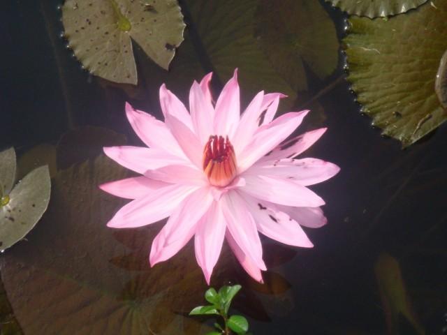 розовые лотосы