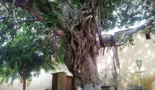 шикарное дерево - как оно называется?