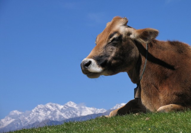 умиротворенная коровка тоже любовалась на парапланеристов
