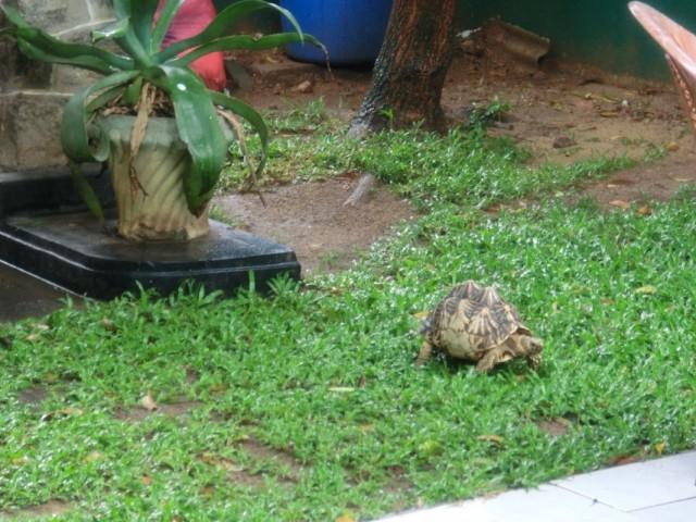 Lankan Turtle