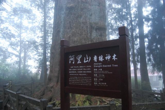 старейшее дерево Тайваня