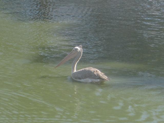 Пеликан в пруду