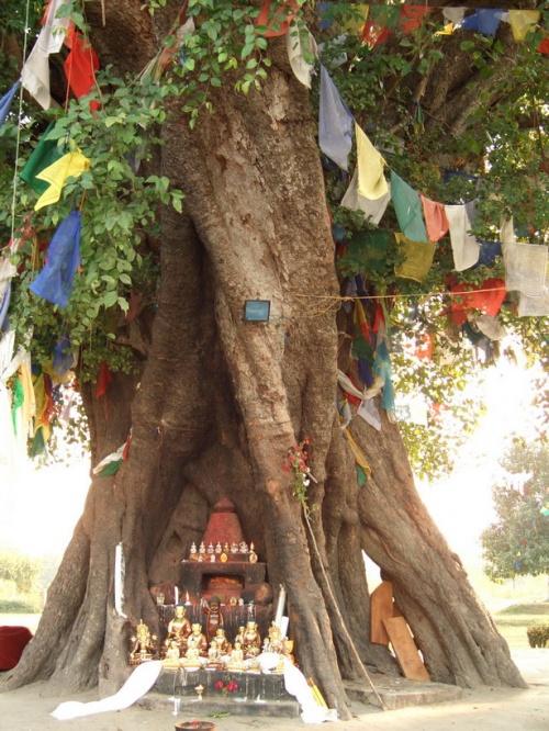 Bodhi tree в приближении