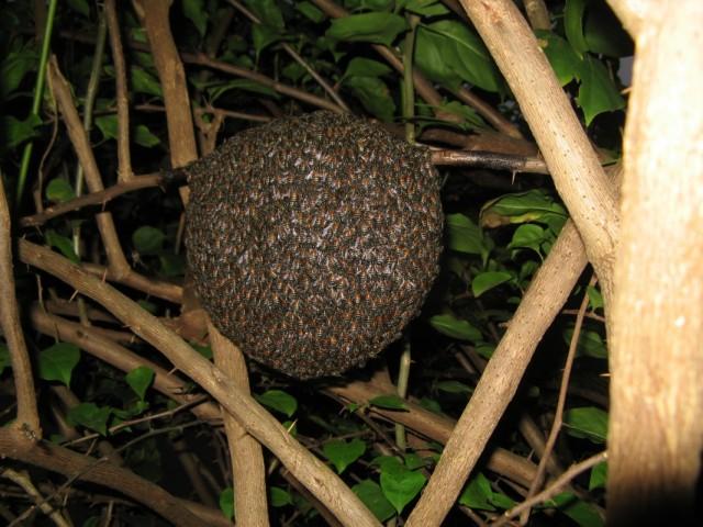Фото из января 2011. Пчелиное лежбище в кустах. Сержант показал)