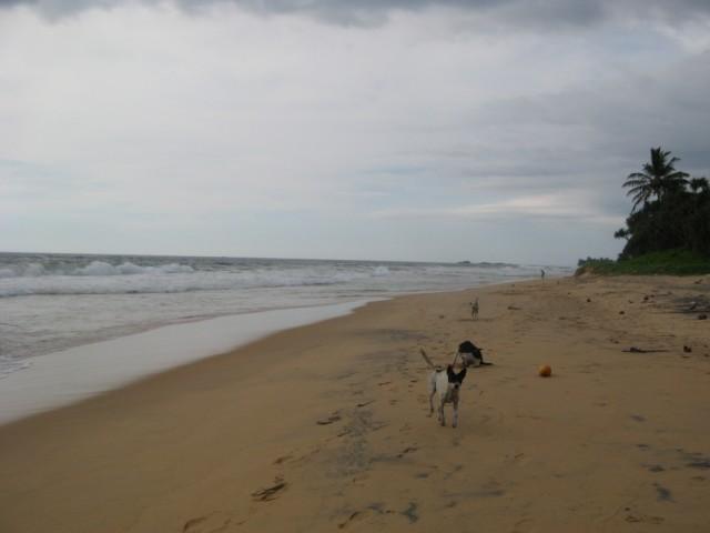 Canis lupus familiaris x3 @ Narigama Beach