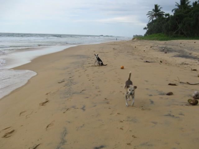 Canis lupus familiaris x2 @ Narigama Beach