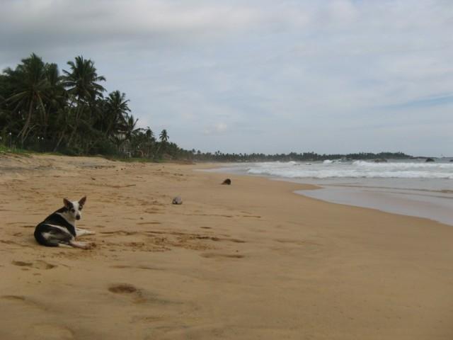 Canis lupus familiaris x1 @ Narigama Beach