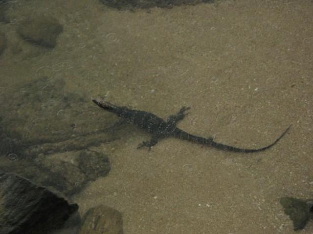Крокодил?