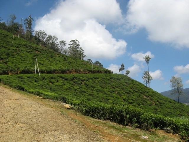 Чайные плантации Нувара Элии