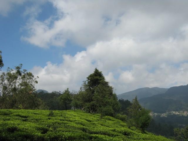 Чайные плантации и Дерево Шивы