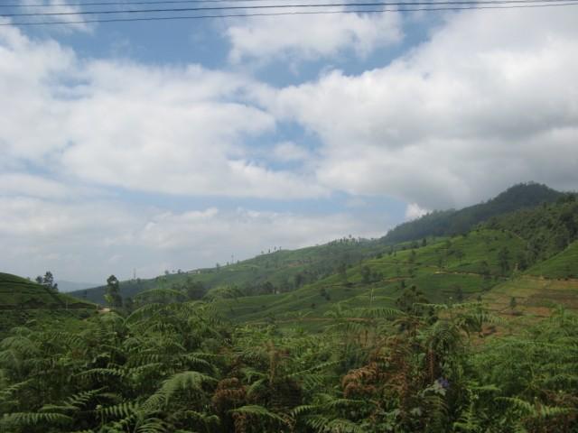 Чайные плантации вдоль дороги на Нану Ойю