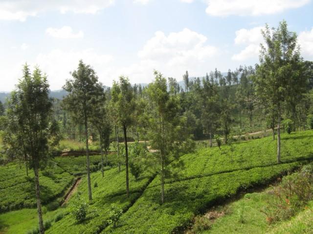 Снова чайные плантации