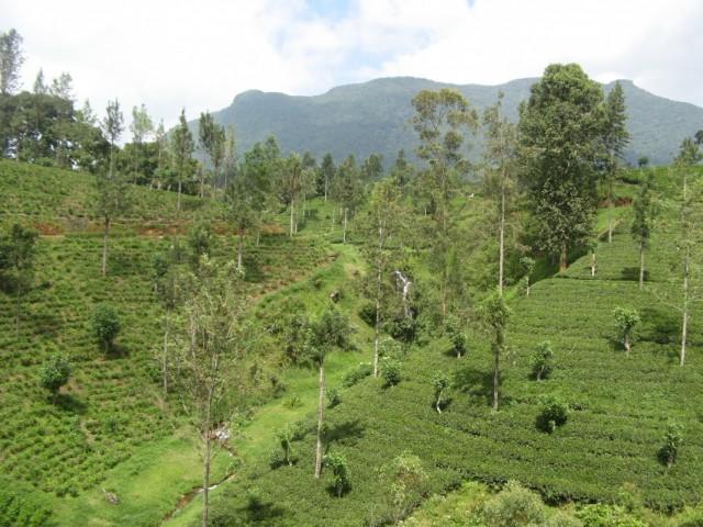 Ещё чайные плантации