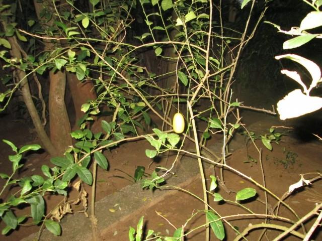 Herbal Garden - Ботанический Сад. Лимон