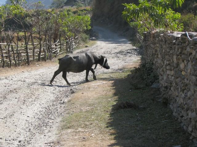 странный буйвол