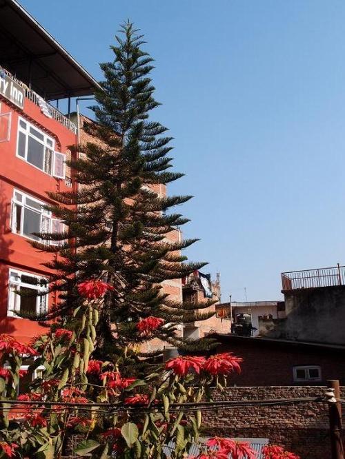 Вид на ёлку той же породы из окна тамельского отеля Pokhara Peace.