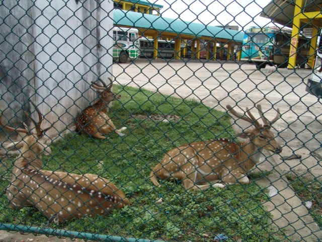 олени в Trincomalee