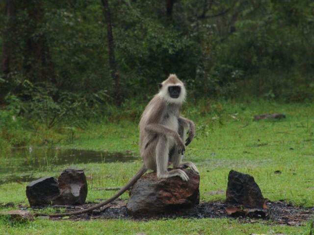 обезьяна пришла на звук разбитого кокоса. Polonnaruwa