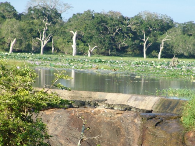 крокодилы на солнышке. Яла парк