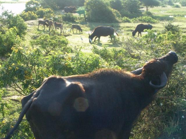 водяные буйволы. Яла парк