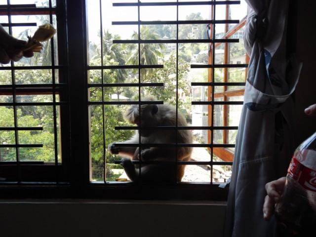 в гостях у нас дикие обезьяны. Kandy