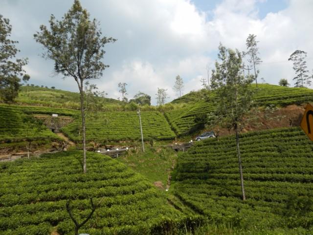чайные плантации центрального нагорья