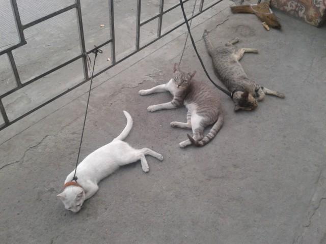 Сторожевые кошки