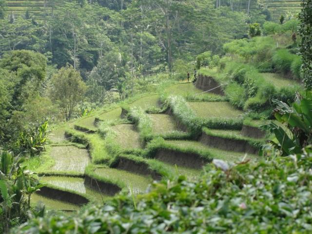 рисовые терассы