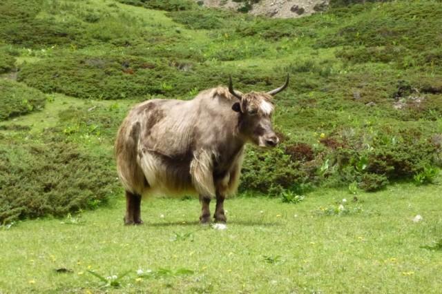 Местная волосатая корова :)