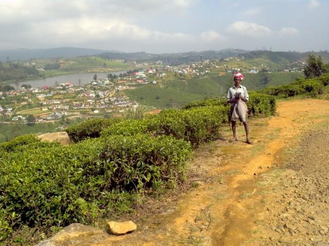 сборщик чая на фоне пригорода