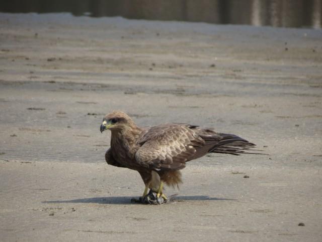 Еще один орел, поймал краба