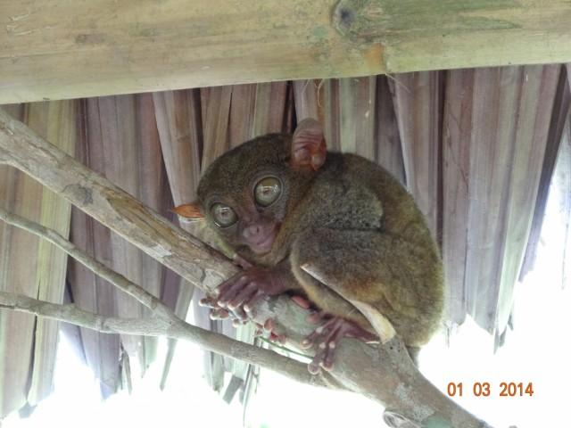 Тарсиеры - самые маленькие приматы на планете