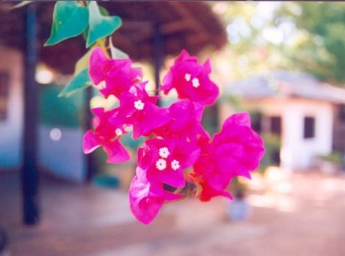 """""""Бумажные цветы"""" - бугенвилеи цветут повсюду, где жарко и не слишком влажно -  в Африке (на севере и западе), и в Азии, конечно!"""