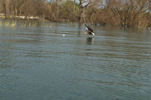 Орёл-рыбоед на Баринго