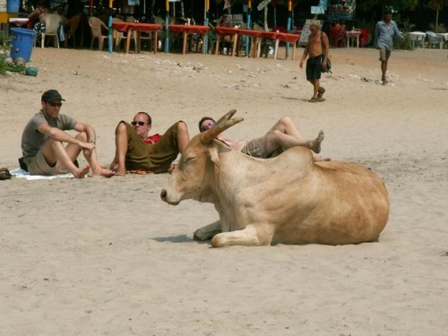 Корова на отдыхе, Арамболь