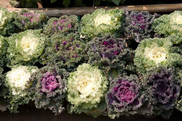 декоративная капустка с цветочного рынка