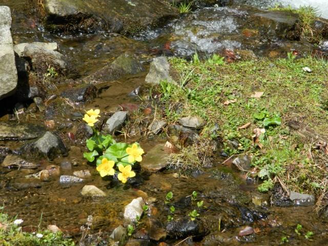 карпатские первоцветы