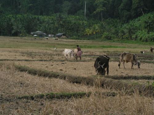 Пашут на буйволах