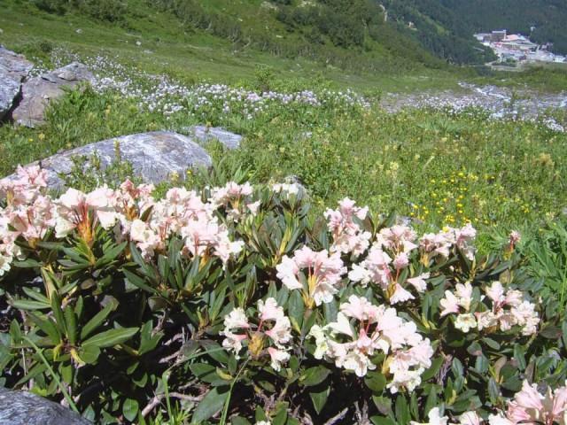 кавказский кустарниковый  рододендрон