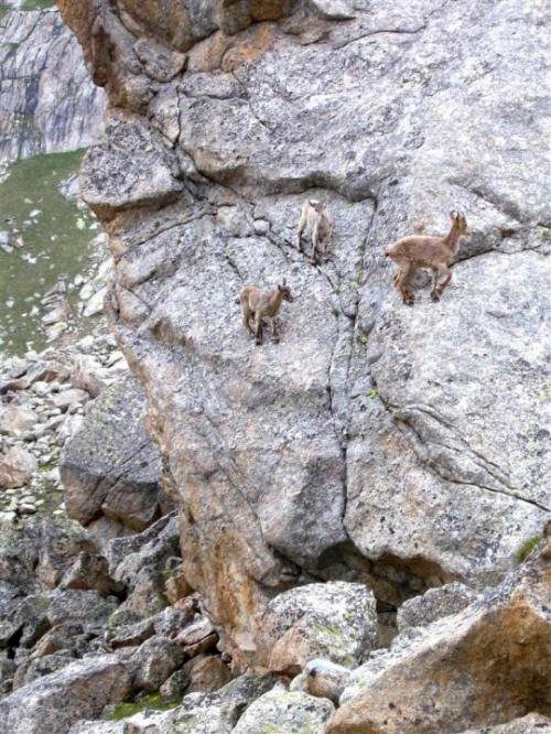 """козы-альпинисты в районе аб """"Уллу-тау"""""""