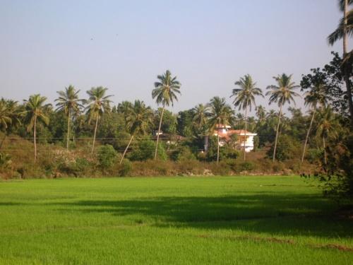 вид на рисовое поле за поселком