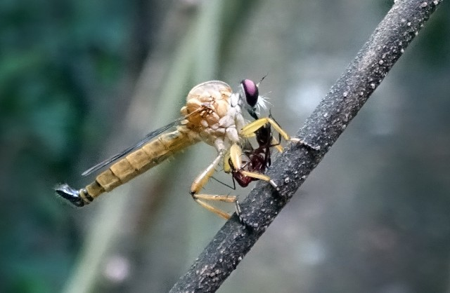 Ктырь ест муравья