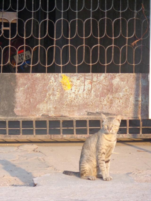 индийская кошка