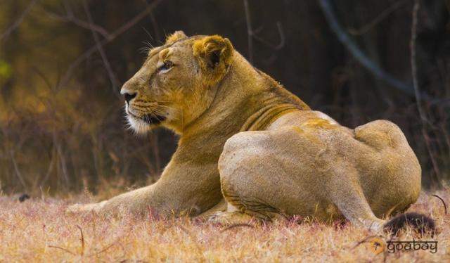 GoaBay Индия Лев