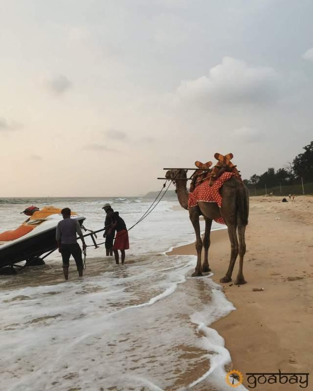 GoaBay Индия Верблюд