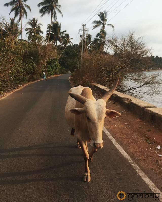 GoaBay Индия Корова