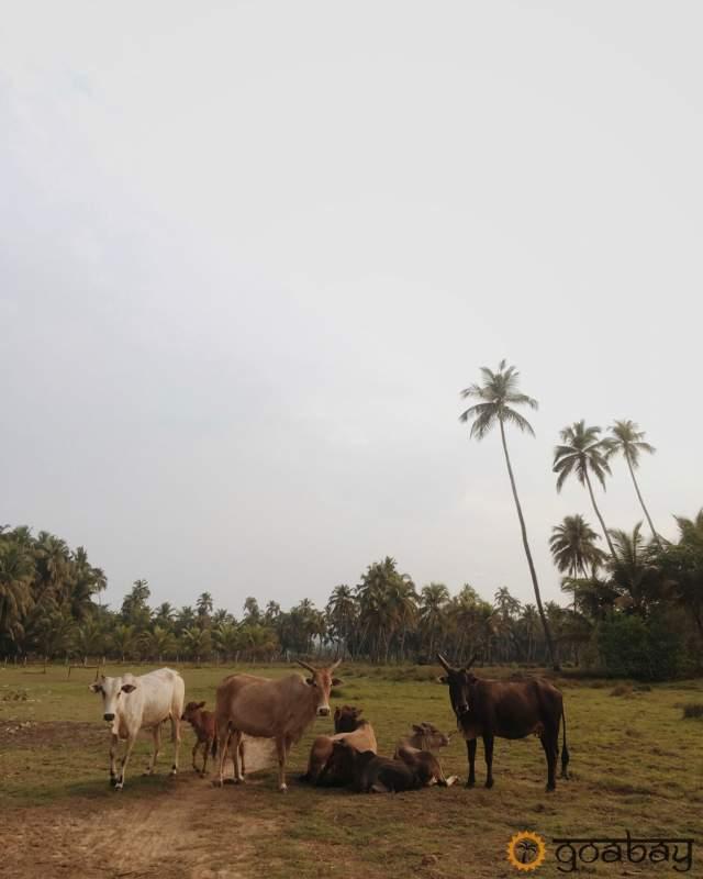 GoaBay Индия Коровы