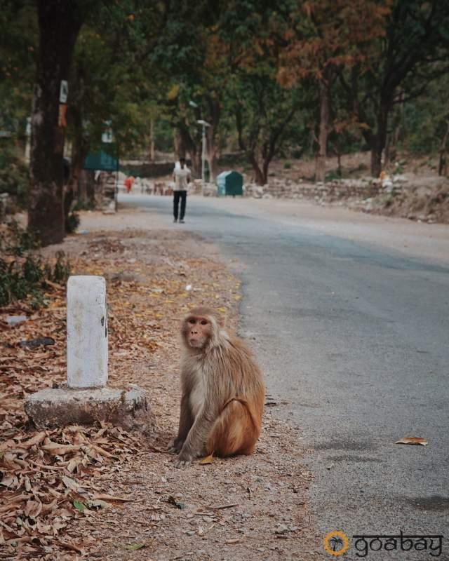 GoaBay Индия Monkey