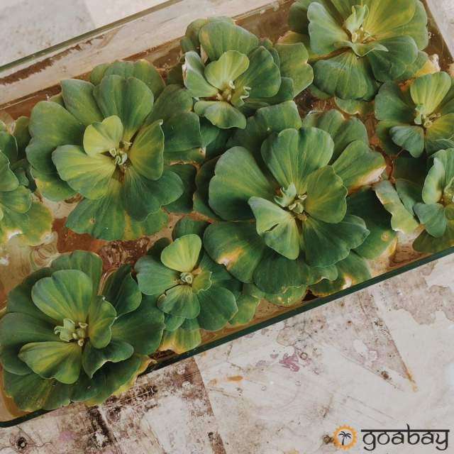 GoaBay Индия Растение