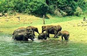 Слоны в заповеднике Перияр